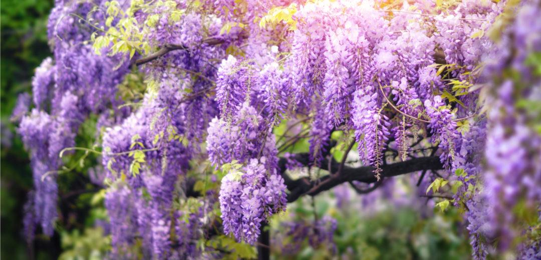 Flowering Shrubs: Sensational Spring Color