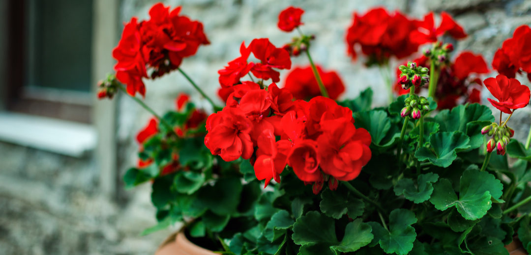 Rocky Mountain™ Geraniums