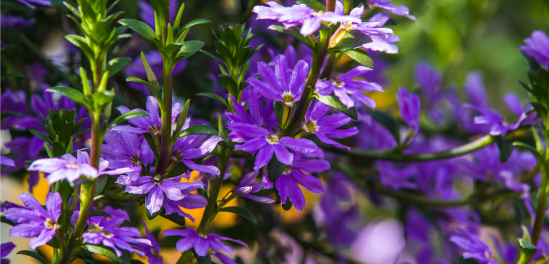 Scaevola – Fan Flower