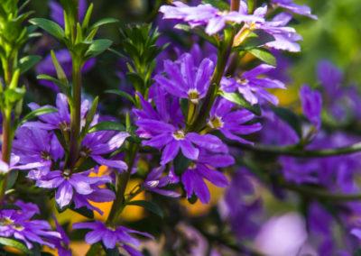 Scaevola – Fan Flower
