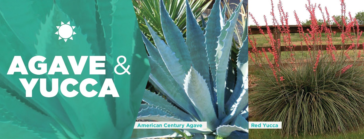 Agave & Yucca