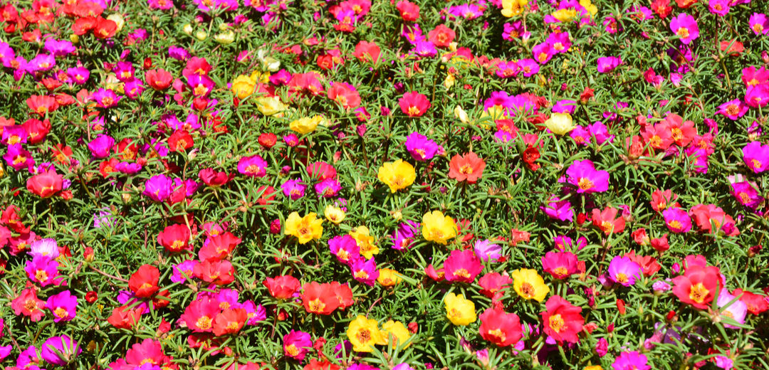 Colorful Portulaca & Purslane