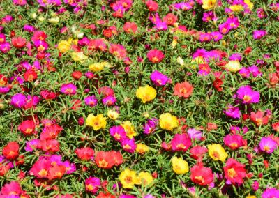 Colorful Portulaca & Purslane