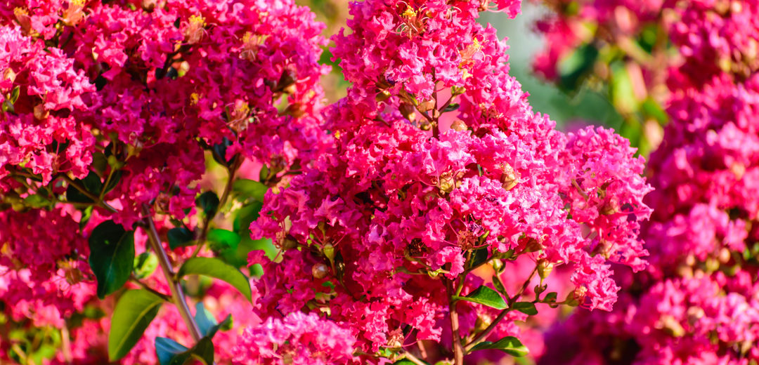 Crape Myrtle In The Perfect Size Tlc Garden Centers