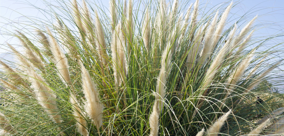 Ornamental Grasses In Oklahoma