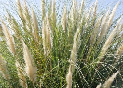 Ornamental Grasses In Oklahoma