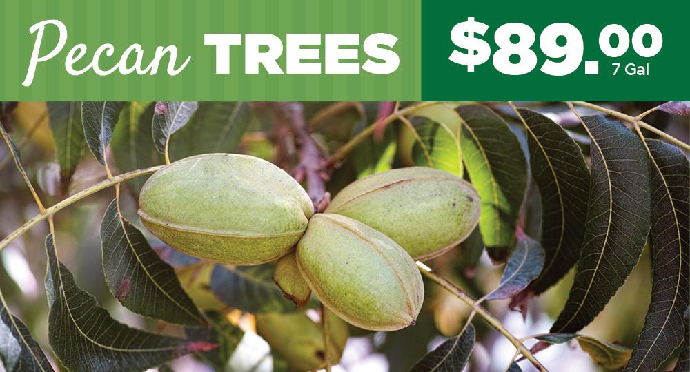 Pecan Trees | TLC Garden Centers
