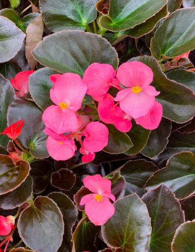 Big Bronze Leaf Rose Pink Begonia