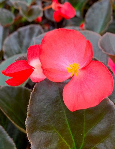Big Bronze Leaf Rose Red Begonia