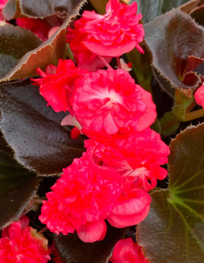 Doublet Red Begonia