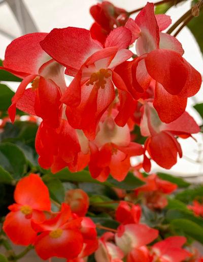 Dragon Wing Begonia