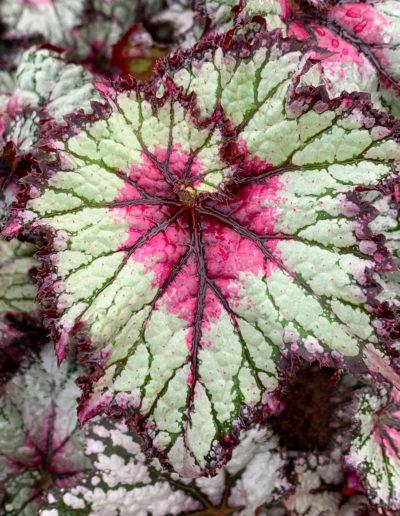 Rex Green Begonia