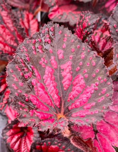 Rex Red Begonia