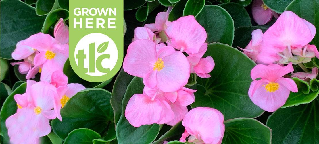 TLC Grown | Begonias