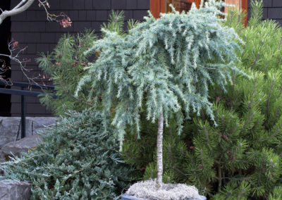 feelin-blue-deodar-cedar-patio-tree