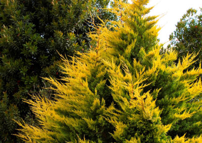 gold-rider-leyland-cypress