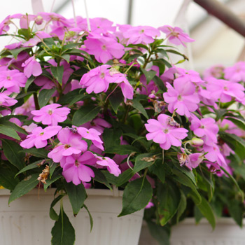 TLC Grown Hanging Baskets