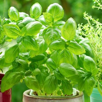 TLC Grown Herbs