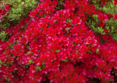 hino-crimson-azalea