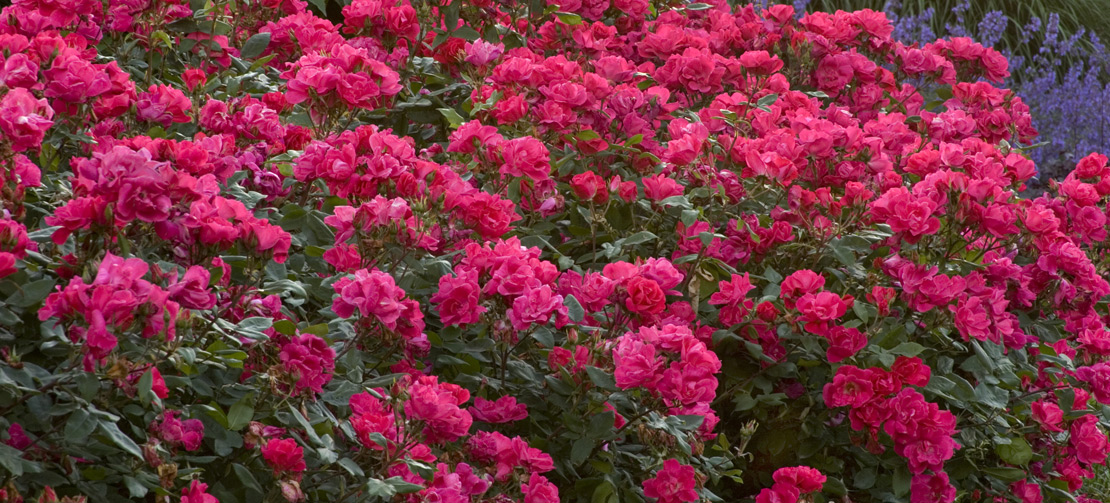 TLC Garden Centers | Knock Out Rose Shrub