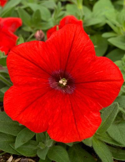 Plus Red Petunia
