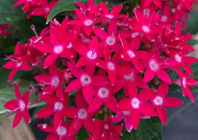 Red Penta