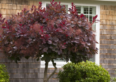 royal-purple-smoke-tree-patio-tree