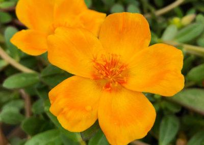 Yellow Purslane
