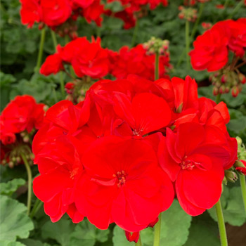 TLC Grown Zonal Geraniums