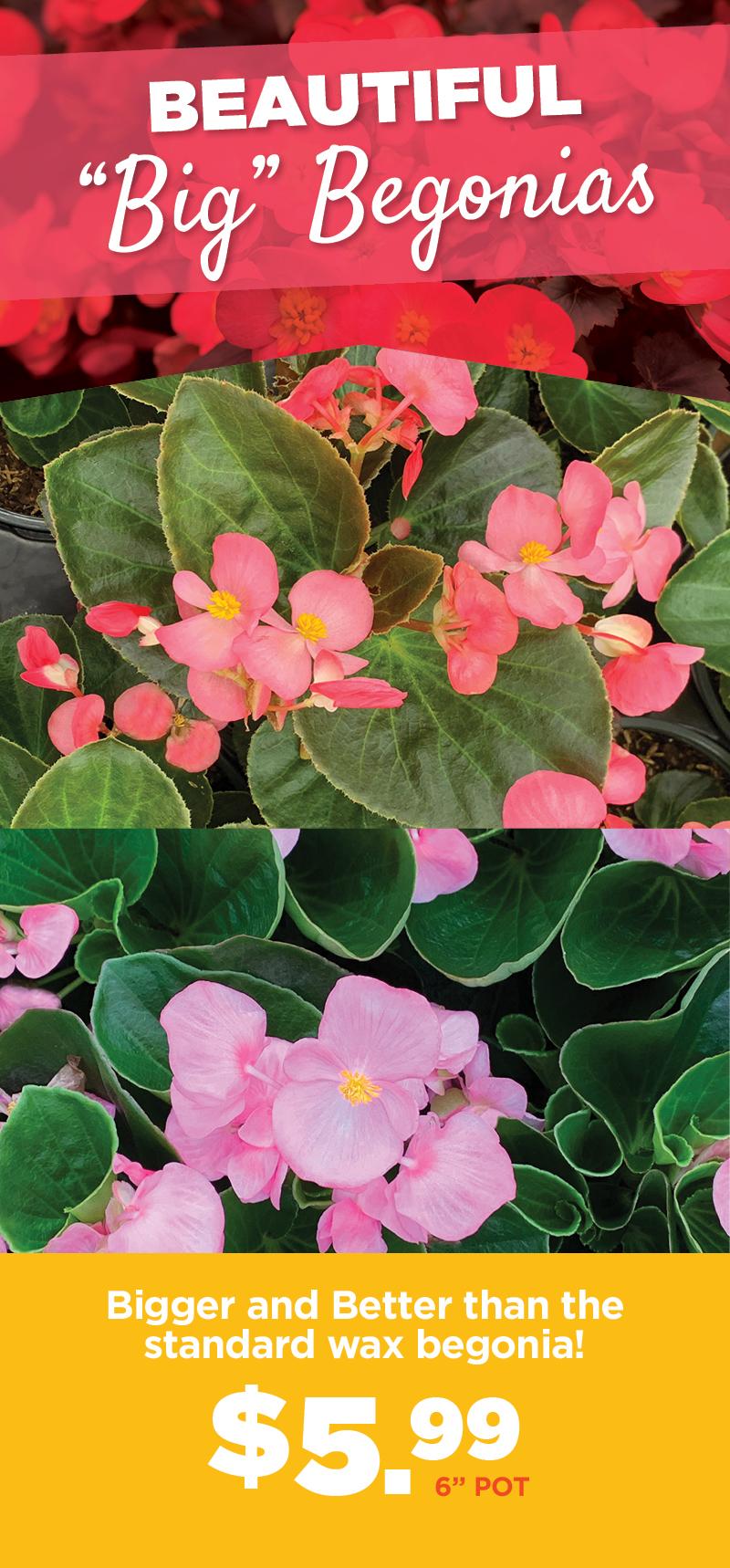 Big Begonias