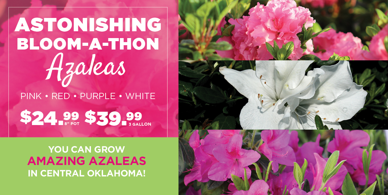 TLC Bloom-A-Thon Azaleas