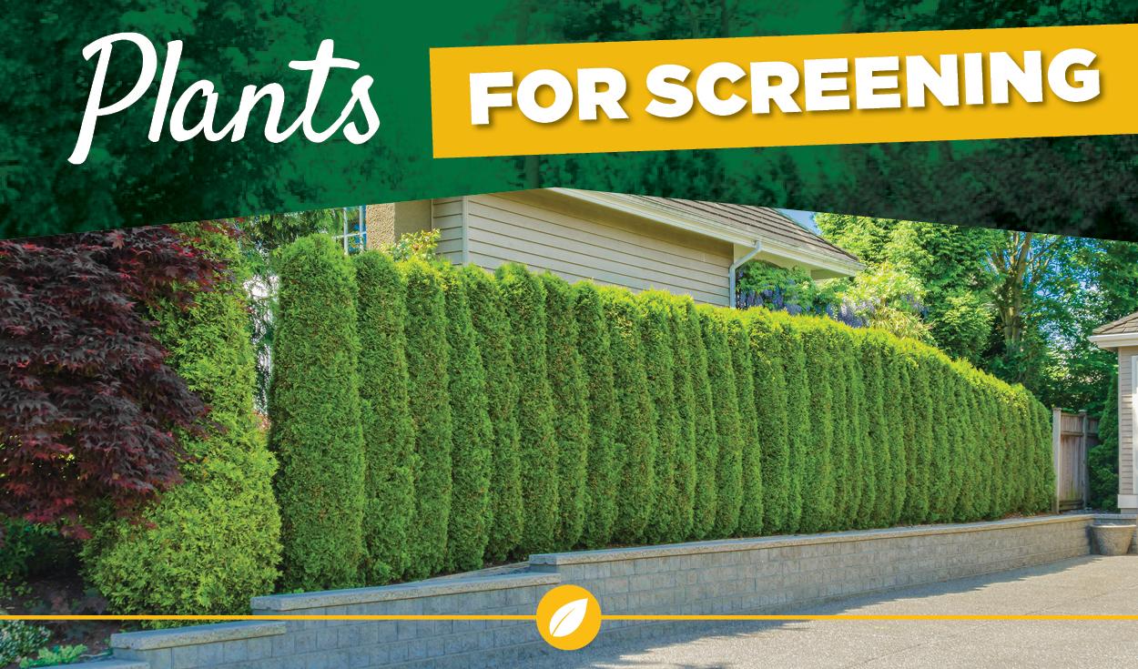 TLC Plants for Screening