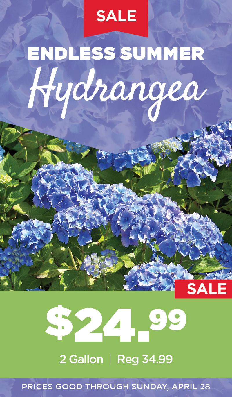 Hydrangea Sale