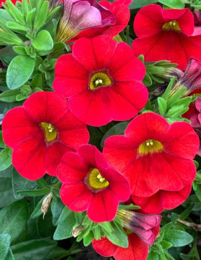 Aloha Kona Dark Red Calibrachoa