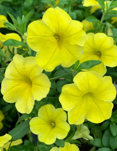 Aloha Kona Yellow Calibrachoa