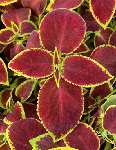 Crimson Gold Coleus