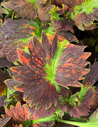 Stained Glassworks Tilt A Whirl Coleus