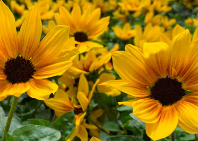 SunBelievable Sunflowers
