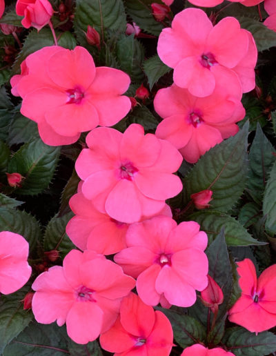 Coral Pink SunPatiens