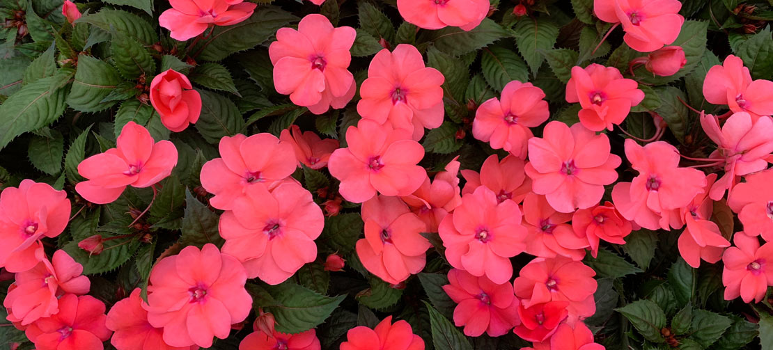 TLC Grown | Petunias
