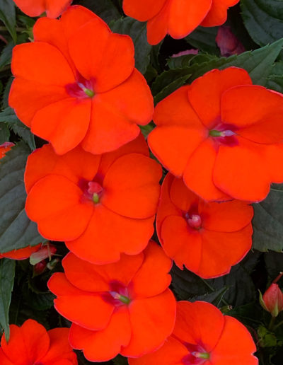 Electric Orange SunPatiens