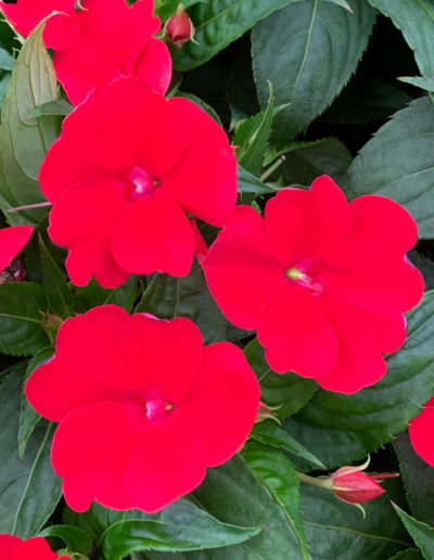 Fire Red SunPatiens