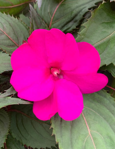 Purple SunPatiens