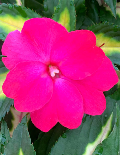 Tropical Rose SunPatiens