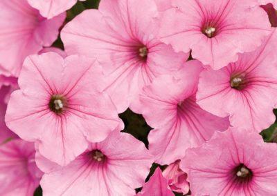 Bubblegum® Petunias