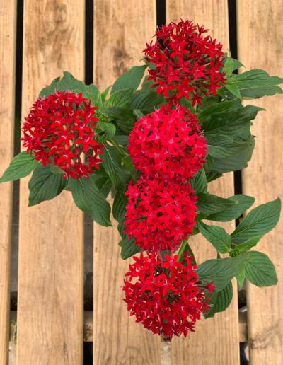 Egyptian Starflower Red Penta