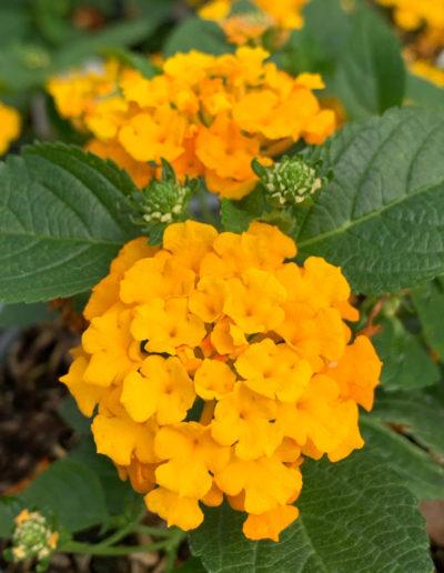 Bloomify™ Orange Lantana