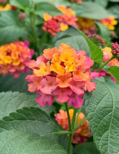 Bloomify™ Rose Lantana