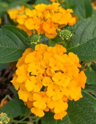 Little Lucky™ Orange Lantana
