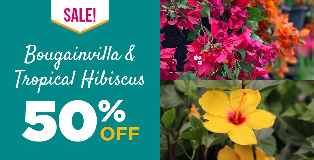 Bougainvilla | TLC Garden Centers